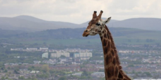 Tall Order! Hotel Indigo Edinburgh York Place launch new giraffe rooms